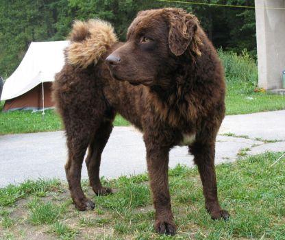 """Pejsek patřící Holanďnům, """"vodní pes"""""""